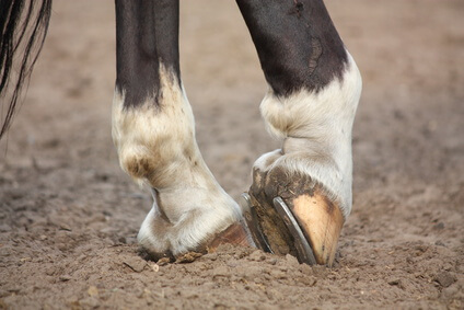 Gewinde-Schraubstollen für Pferde am Huf